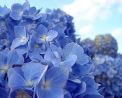 紫陽花(あじさい、アジサイ)、ハイドランジア