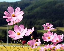 秋桜(こすもす、コスモス)