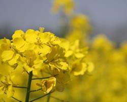 菜の花(なのはな、ナノハナ)