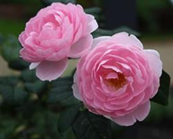 薔薇(バラ、ローズ)
