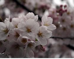 桜(さくら、サクラ)、チェリーブロッサム