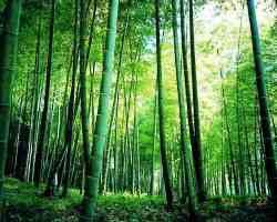 竹(たけ、タケ)