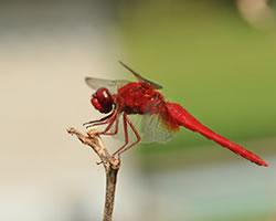 蜻蛉(とんぼ、トンボ)