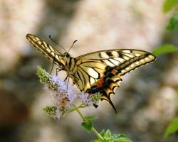 蝶(ちょう、チョウ)