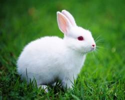 ウサギ(うさぎ、兎)、ラビット
